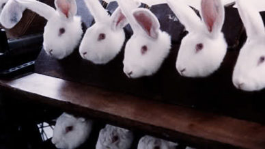 rabbits in a laboratory